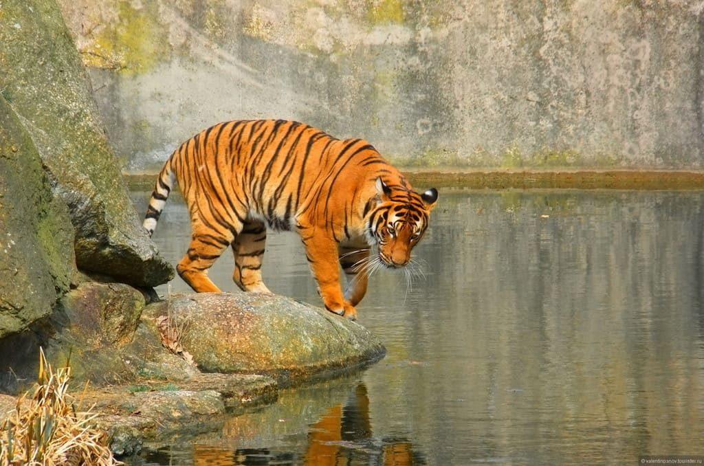 Берлинский зоопарк - фотография тигра